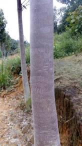 Ladang Gaharu, Jelebu