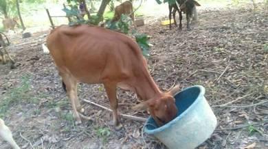 Lembu dara