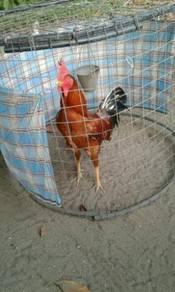 Ayam HUJUNG