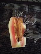 3 Male Sugar Glider + Cage + Travel Bag