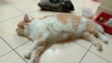 Kucing gemokkss ori parsi