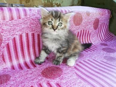 Tricolor persian kitten
