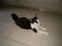 Kucing parsi mix maincoon