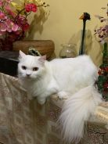 Persian Cat Kucing Parsi