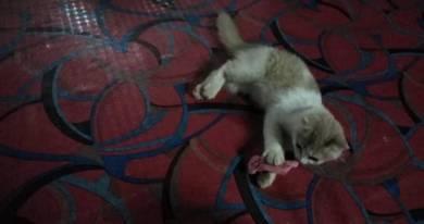 Anak kucing betina