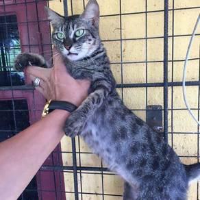 Kucing bengal charcoal betina