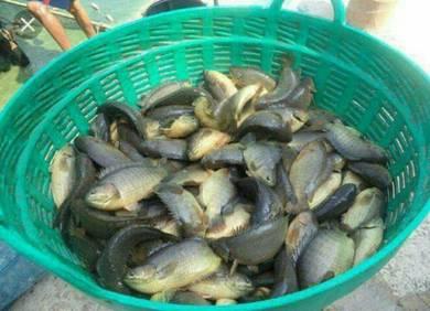 Untuk umpan ikan toman dan haruan