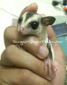 Sugar glider white face