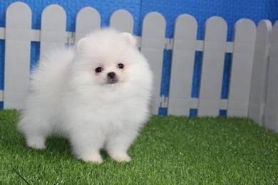 Chubby White Cream Pomeranian