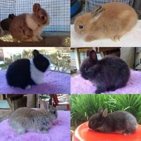 Arnab/rabbit netherland dwarf(kerdil)