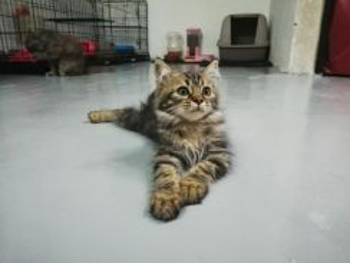 Male Kitten Cantik