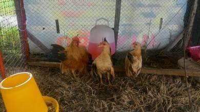 Ayam Serama (remaja)