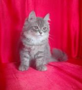 Female Persian Kitten_Anak Kucing Parsi Betina