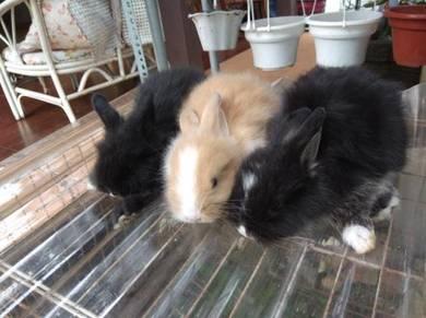 Angora rabbits pure 3 baby
