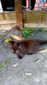 Anak kucing jantan