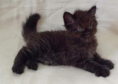 Black Kitten Persian mix maine coon