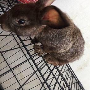 Rabbit mix flat-faced/invasive rabbit