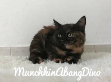 Kucing Munchkin Std Female Black Tortie SH -Miko-