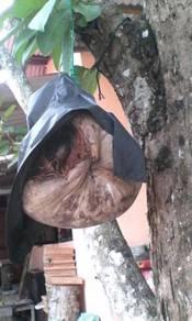 Kelulut dlm buah kelapa laskap