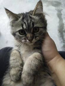 Mix mainecoon/persian kitten