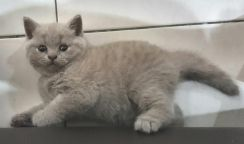 Pure Breed Female British Short Hair KITTEN (BSH)