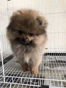 Pure breed Pomeranian