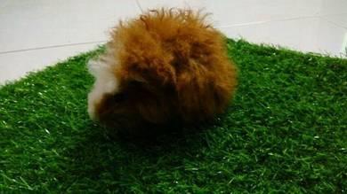 Guinea pig (marmut)