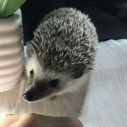 Hedgehog male 5 month