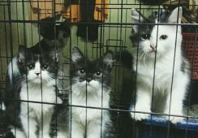 Anak kucing utk dijual