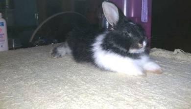 Rabbit for sale kuantan Pahang