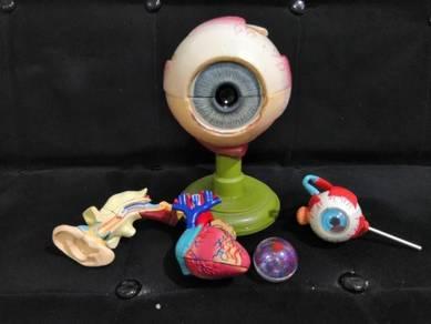 Koleksi Anatomi Organ Manusia