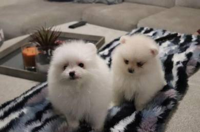 Affectionate Pomeranian Puppies ready for rehoming