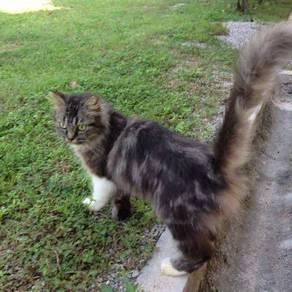 Kucing parsi semi flat