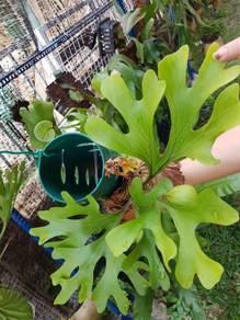 Pokok platycerium ridley i