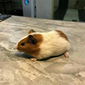Guinea Pig - Pakej Lengkap