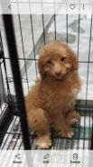 Home bred poodle