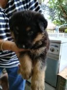 Mix breed Rottweiler & German Shepard puppies