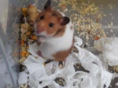 Hamster dibeli secara percuma