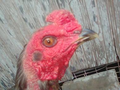 Ayam bulu betina