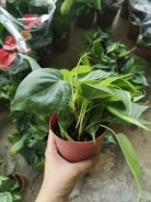 Philodendron Var