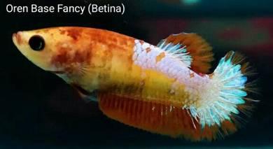 Ikan laga/betta fish