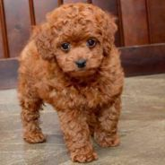 Toy Poodle (with Cage, food, & Toys)