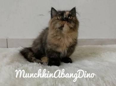 Kucing Munchkin Std Female Black Tortie LH -Miki-