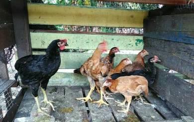Ayam kampung kacuk