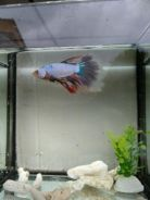 Betta fish HM