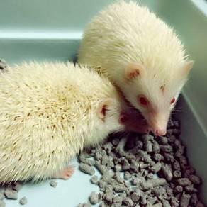 Landak Mini / Albino Hedgehog