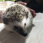 Hedgehog female 4 month