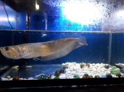 Silver Arowana with fullset Aquarium