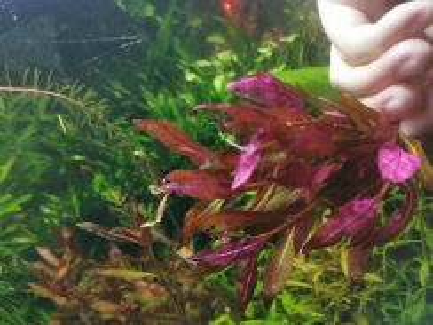 Alternanthera reineckii aquatic plant 红�心兰