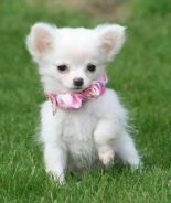 П�¶ Christmas AKC Chiwawa puppy for you
